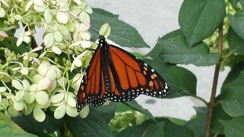 Monarch butterfly on white flowering plant.